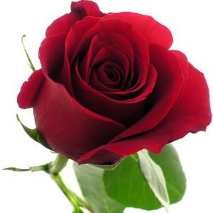 rosa roja que chic