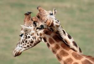 amor jirafasm