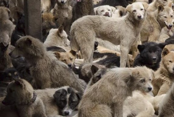 Perros China 1